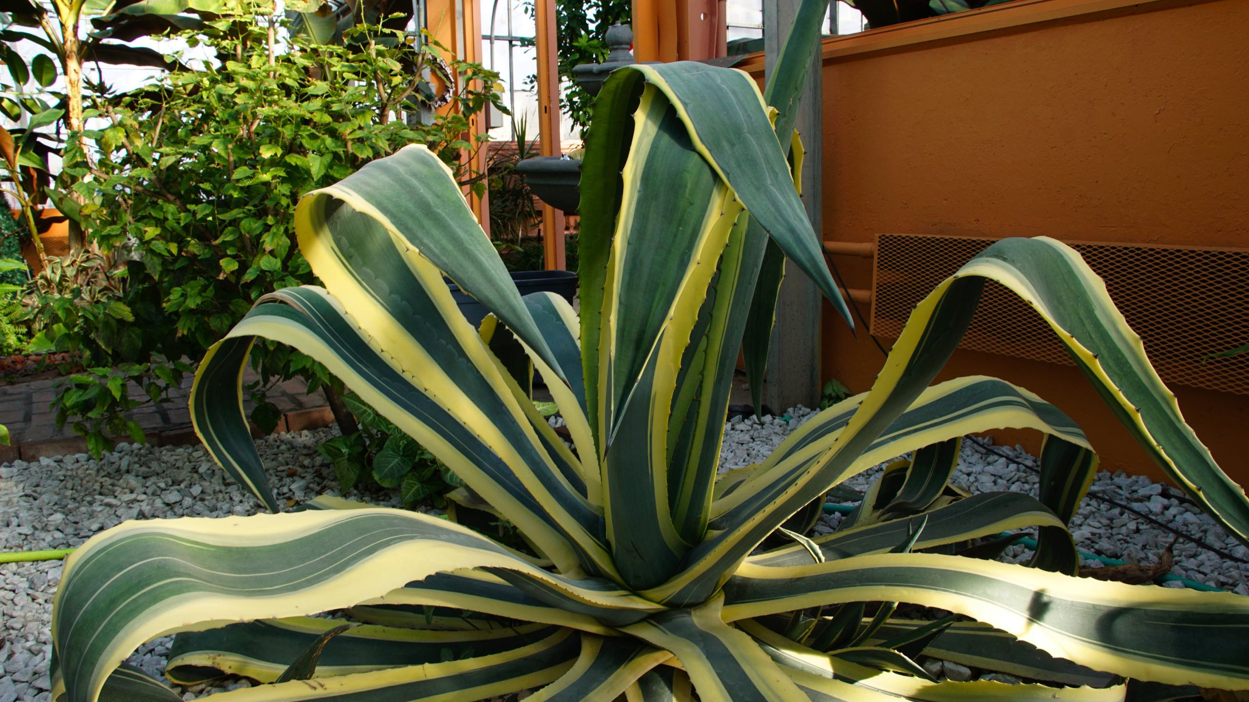 Yellow and Green Leaved Aloe Plant